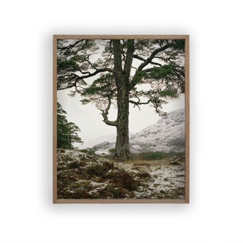 FRAMED PRINT Boreal tree 25