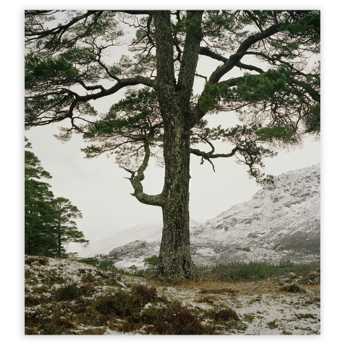 Poster Boreal tree 25,...