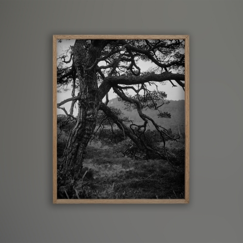FRAMED PRINT Boreal tree 29